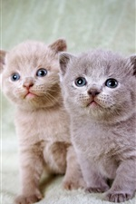 Preview iPhone wallpaper Furry kittens, twins