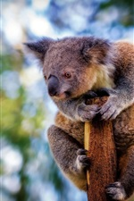 Furry koala, look at side, bokeh
