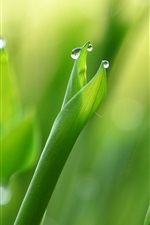 Preview iPhone wallpaper Green leaves, lilies, macro, water drops, dew