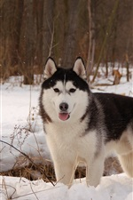 Preview iPhone wallpaper Husky dog, winter, snow