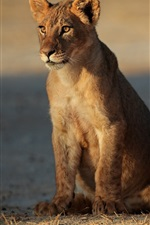 Preview iPhone wallpaper Lioness, lion cubs, family