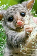 Preview iPhone wallpaper Mammal, young opossum, plant, nature