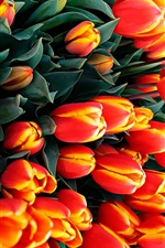 Preview iPhone wallpaper Many tulips, orange flowers