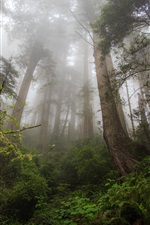 Preview iPhone wallpaper Northern California, Redwood heaven, trees, fog