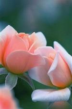 Preview iPhone wallpaper Pink rose flowers, bokeh