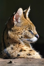 Preview iPhone wallpaper Predator, serval, wild cat