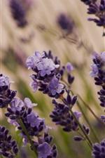 Preview iPhone wallpaper Purple flowers, lavender macro
