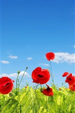 Sky, clouds, flower fields, meadow, red poppies
