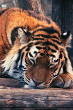 Preview iPhone wallpaper Tiger sleep, timber, trees