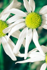 Preview iPhone wallpaper White flowers, daisies, green background