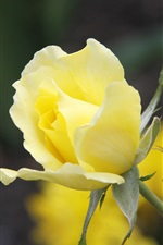 Preview iPhone wallpaper Yellow rose flower close-up