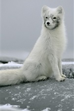 Preview iPhone wallpaper Arctic fox sitting on a rock