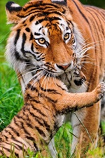 Preview iPhone wallpaper Big cat, tiger, family, grass