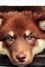 Brown dog, face, eyes