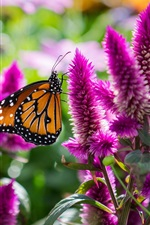 Butterfly with pink flowers, insect macro