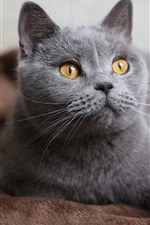 Preview iPhone wallpaper Gray cat, face, yellow eyes