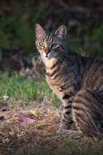 Gray cat, grass, standing