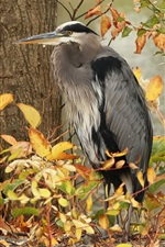 Preview iPhone wallpaper Gray heron, bird, trees, autumn