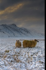 Preview iPhone wallpaper Iceland, highlands, snow, goats, mountains, dusk