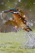 Preview iPhone wallpaper Kingfisher catching fish, water splash