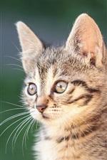 Preview iPhone wallpaper Kitten, portrait, bokeh