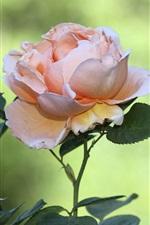 Preview iPhone wallpaper Pink rose flowers, green bokeh
