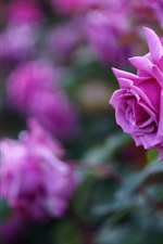 Preview iPhone wallpaper Pink rose flowers, petals, blurring