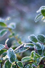 Preview iPhone wallpaper Plant leaves, frost, cold, crystals