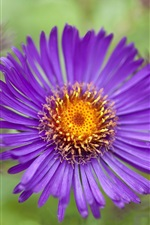 Preview iPhone wallpaper Purple aster flower close-up