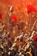 Red flowers, bokeh, sunlight