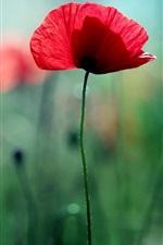 Red flowers, poppies, green bokeh