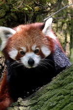 Preview iPhone wallpaper Red panda in the tree