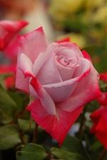 iPhone обои Красные белые цветы, розы, бутоны, лепестки