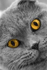 Preview iPhone wallpaper Scottish fold cat, yellow eyes