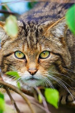Preview iPhone wallpaper Scottish wild cat, forest