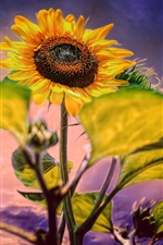Preview iPhone wallpaper Sunflower, purple background