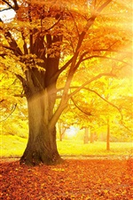 Sunset autumn, forest, yellow leaves, trees, sun