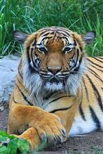 iPhone fondos de pantalla Tigre, depredador, hierba