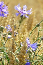 Preview iPhone wallpaper Wheat field, blue flowers, cornflowers, summer