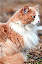 Preview iPhone wallpaper White brown cat