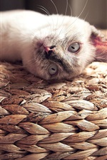 Preview iPhone wallpaper White cat lying, eyes, whiskers