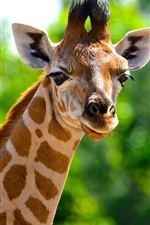 Preview iPhone wallpaper Animals close-up, giraffe