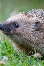 Preview iPhone wallpaper Animals close-up, hedgehog, grass