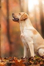 Outono, floresta, folha, cão