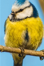 Preview iPhone wallpaper Bird, yellow blue feather, branch, trunk
