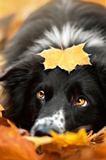 Preview iPhone wallpaper Black dog, autumn, red leaves