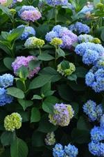 Blue purple flowers, summer, hydrangea