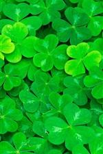 Clover, green leaves