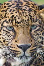 Preview iPhone wallpaper Leopard, wild cat, whiskers, eyes, portrait