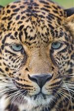Vorschau des iPhone Hintergrundbilder Leopard, Wildkatze, Schnurrhaare, Augen, Porträt